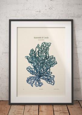 Kallymenia Blue